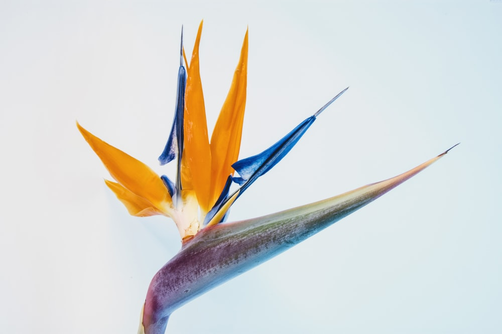 Birds of paradise on focus photo