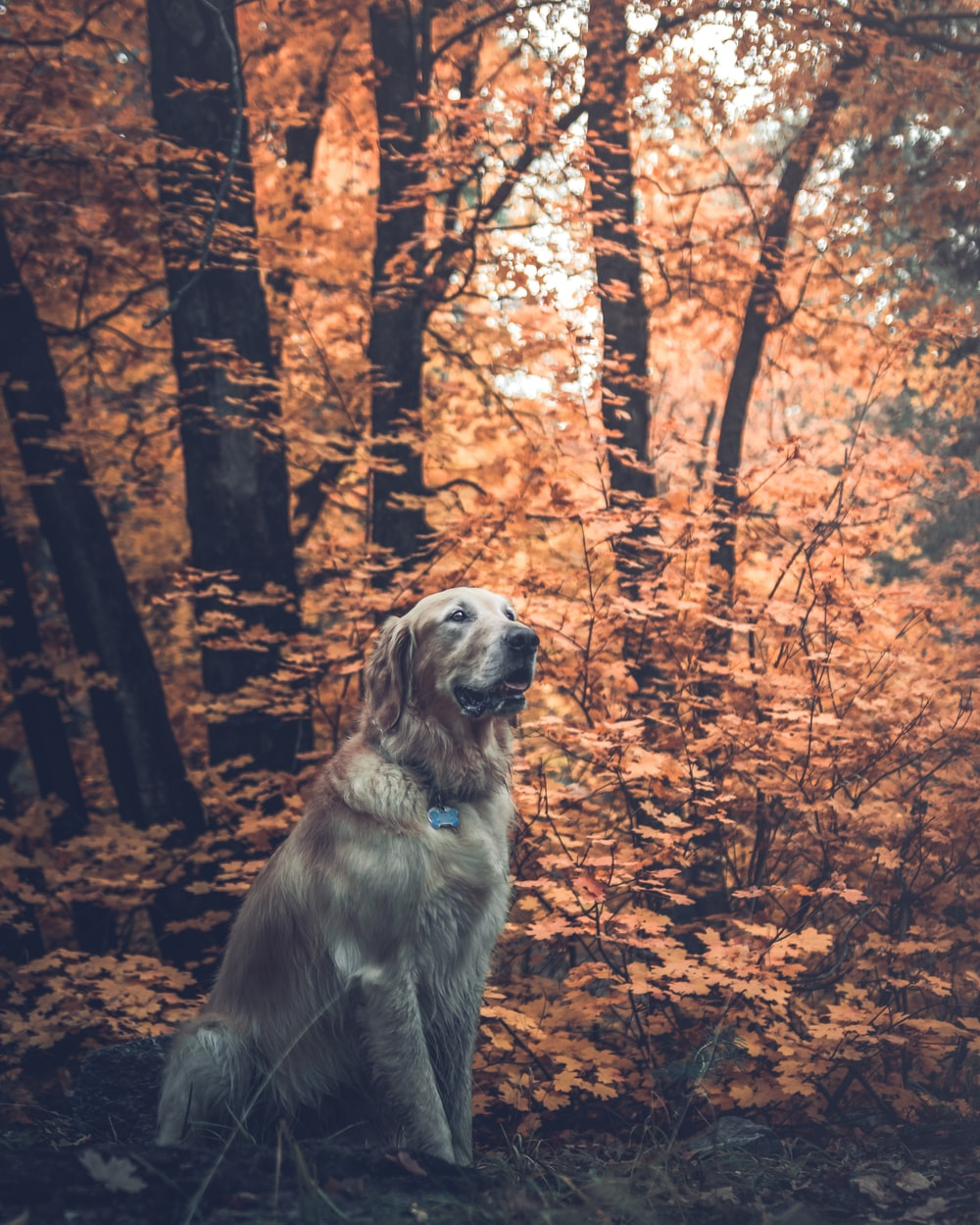 adult light golden retriever surrounded by trees