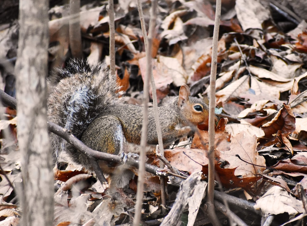 grey squirrel on ground covered with dried leaves