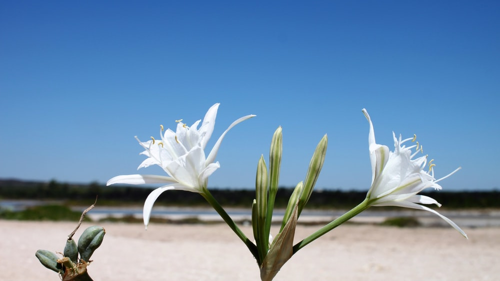 two white lily flowers blooming near beach