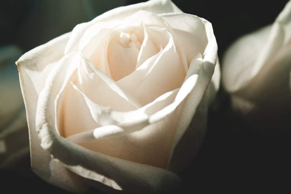 close-up photography of white rose flower