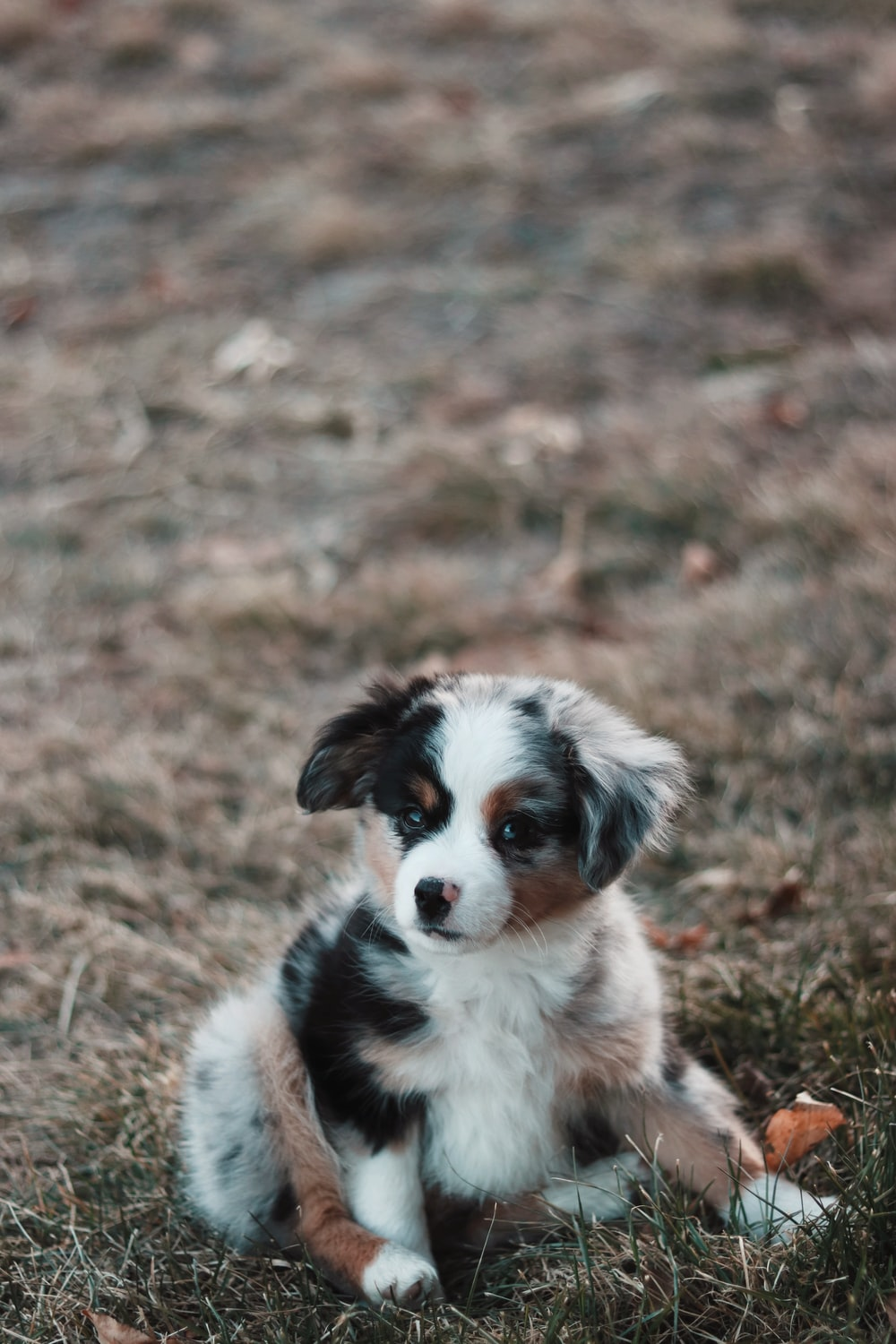 close-up photography of blue Australian shepherd puppy sitting on green grass