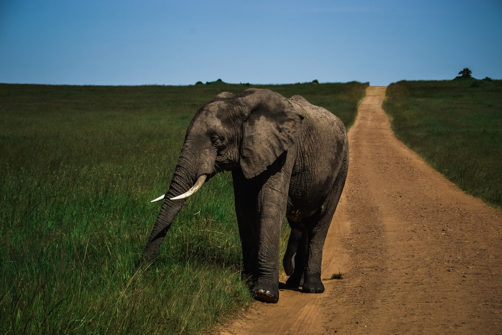 gray elephant walking on dirt road between green grass field during daytime