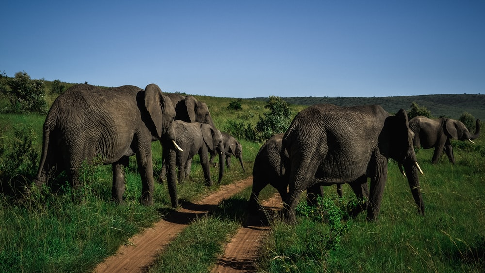 herd of elephant walking on green grass field during daytime