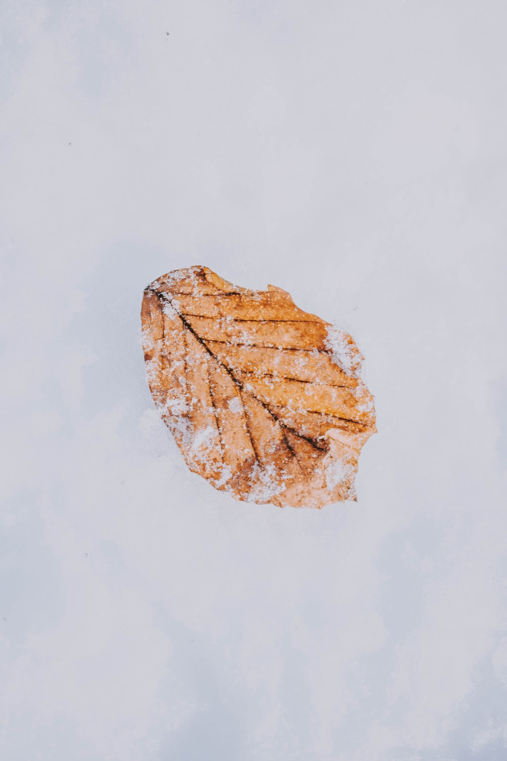 dried leaf covering with snow