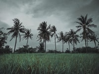 low angle photo of green grass field near coconut trees