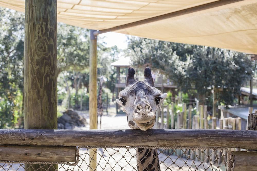 gray giraffe