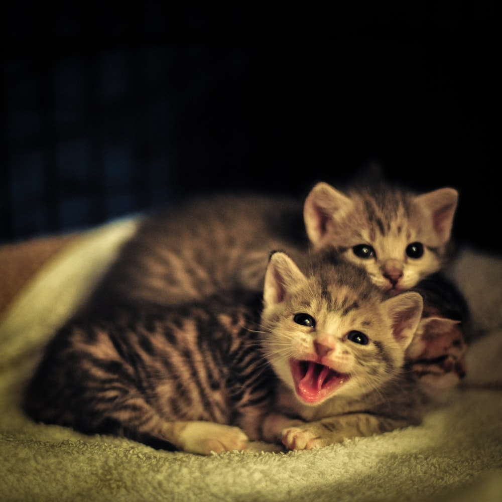 two smiling tabby kittens on white textile