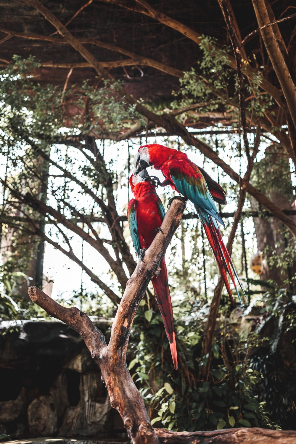 two red and blue parrot birds perching on branch