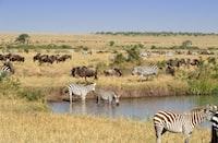 zebra in the field under blue sky
