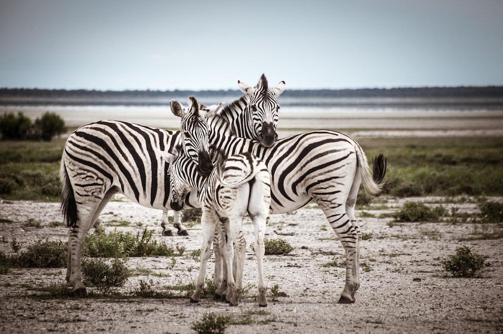 three zebra standing on field