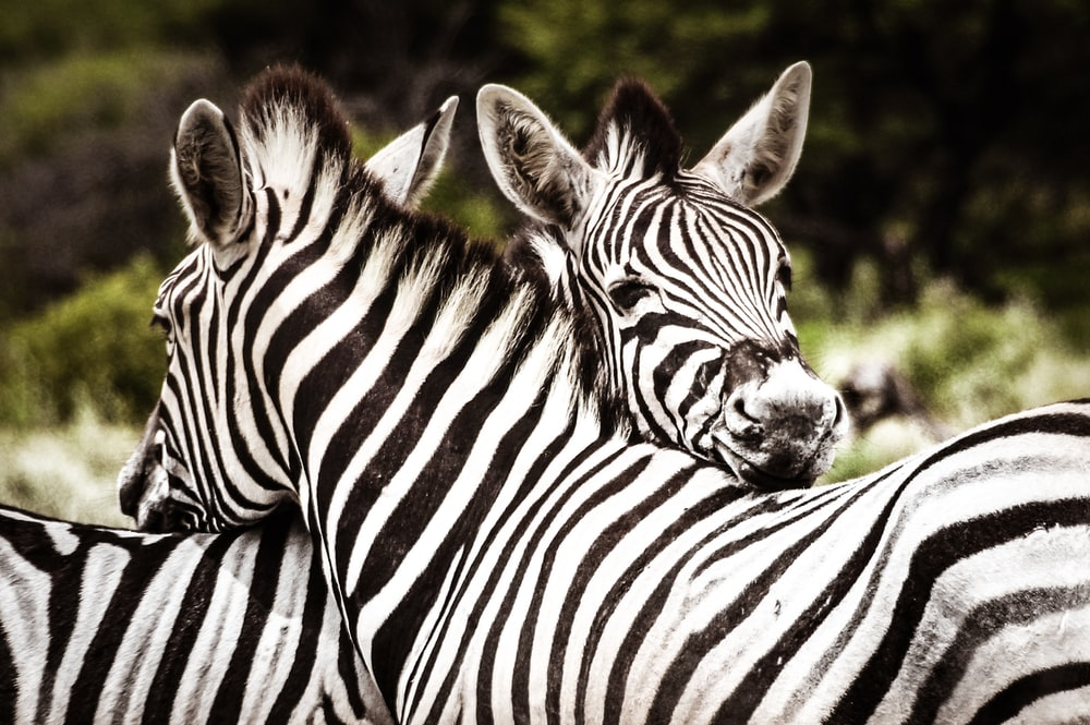 two zebras leaning heads on each other