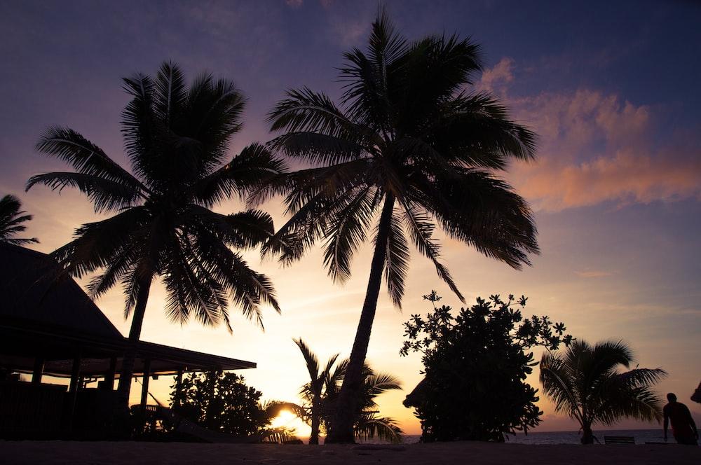 coconut tree near house