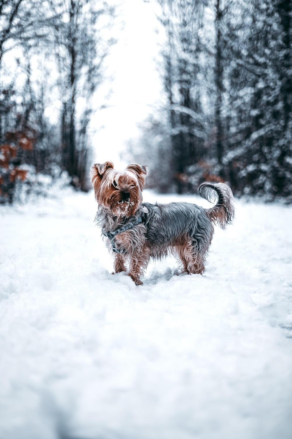 brown and gray Yorkshire terrier on field covered with snow
