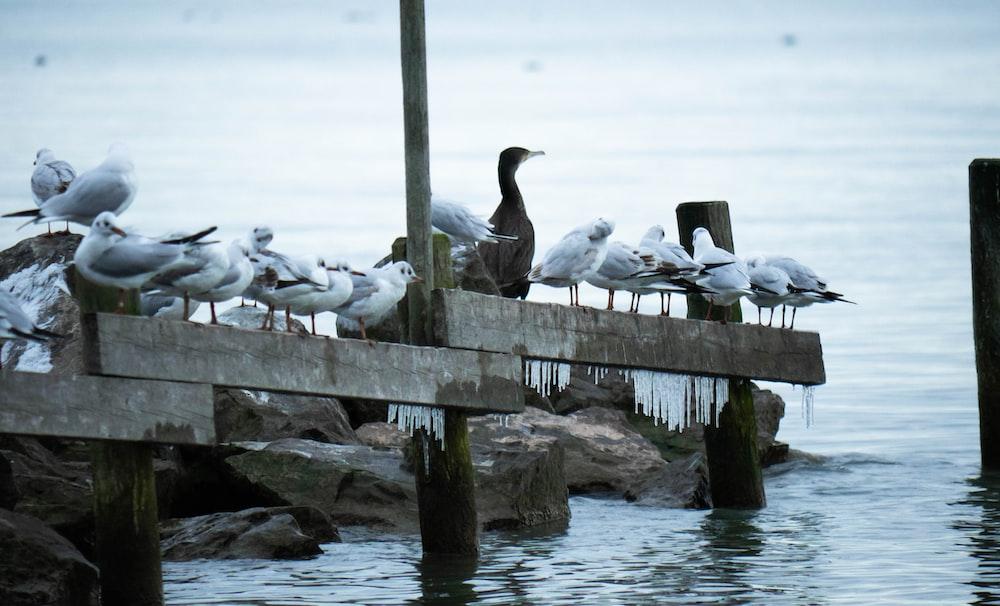 white and black birds on beach dock