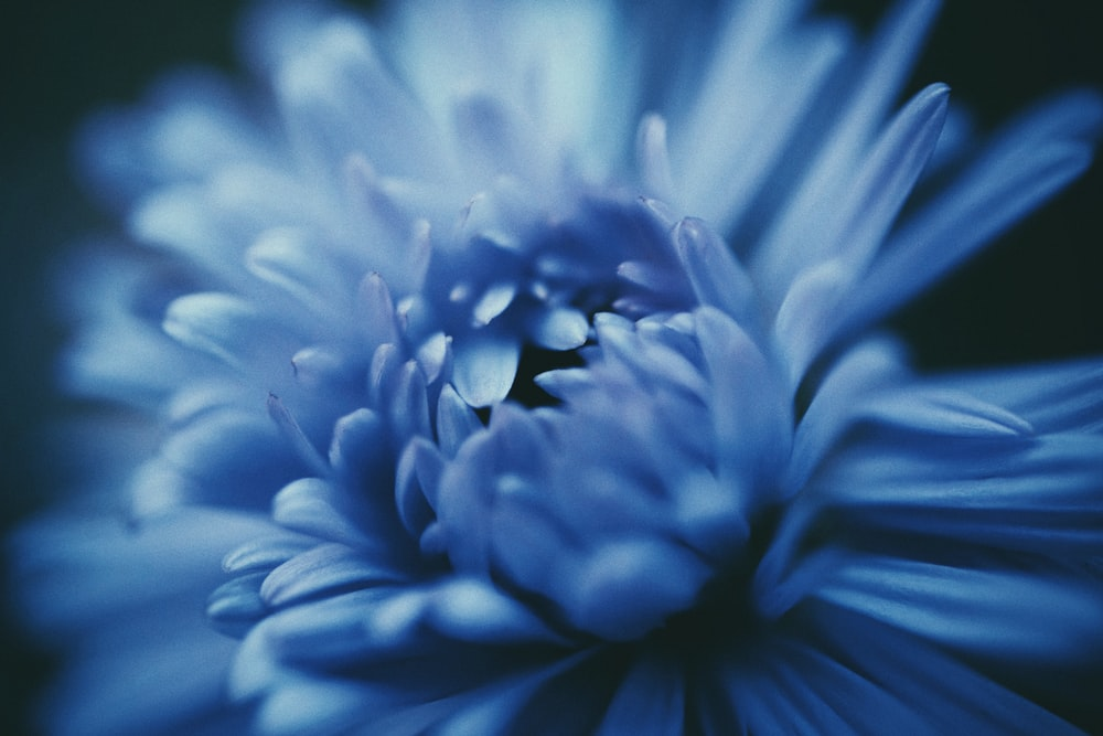 blooming blue daisy flower