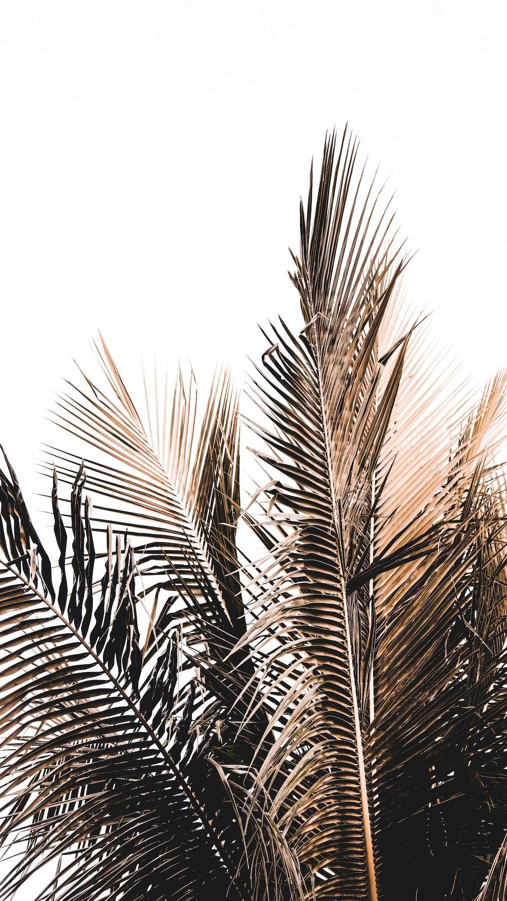 coconut tree leaves