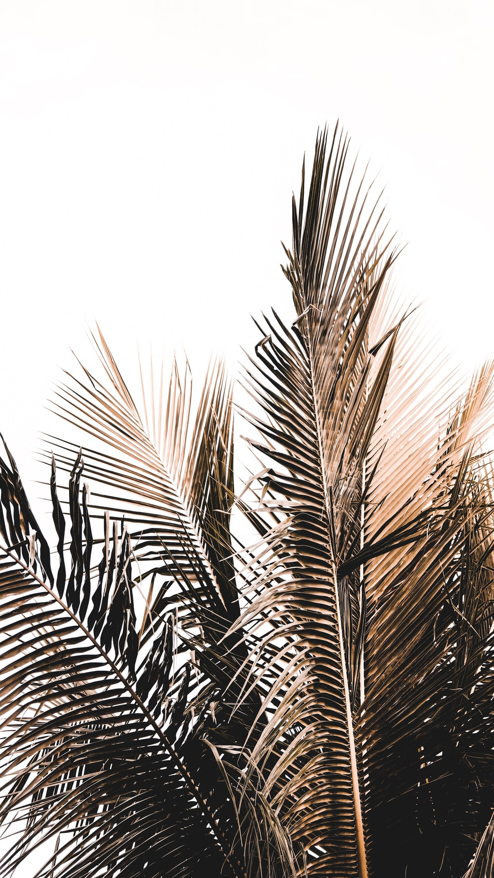 coconut tree leaves