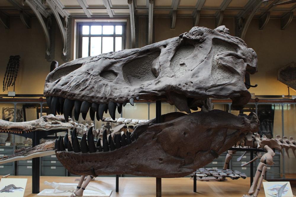 dinosaur skelleton