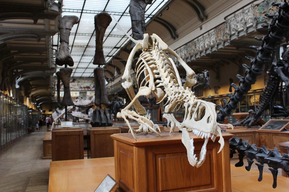 dinosaur skeleton display in a room