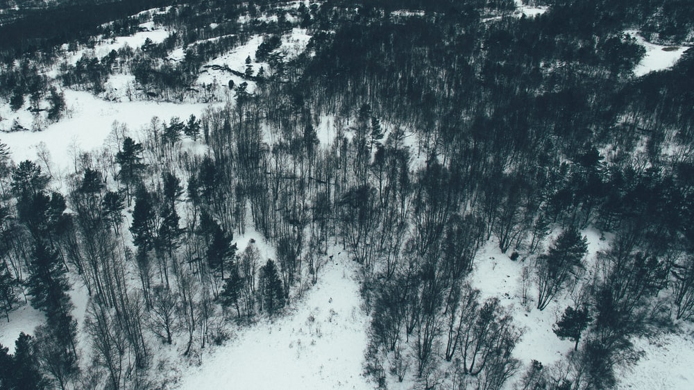 aerial photography of pine trees filled with snow