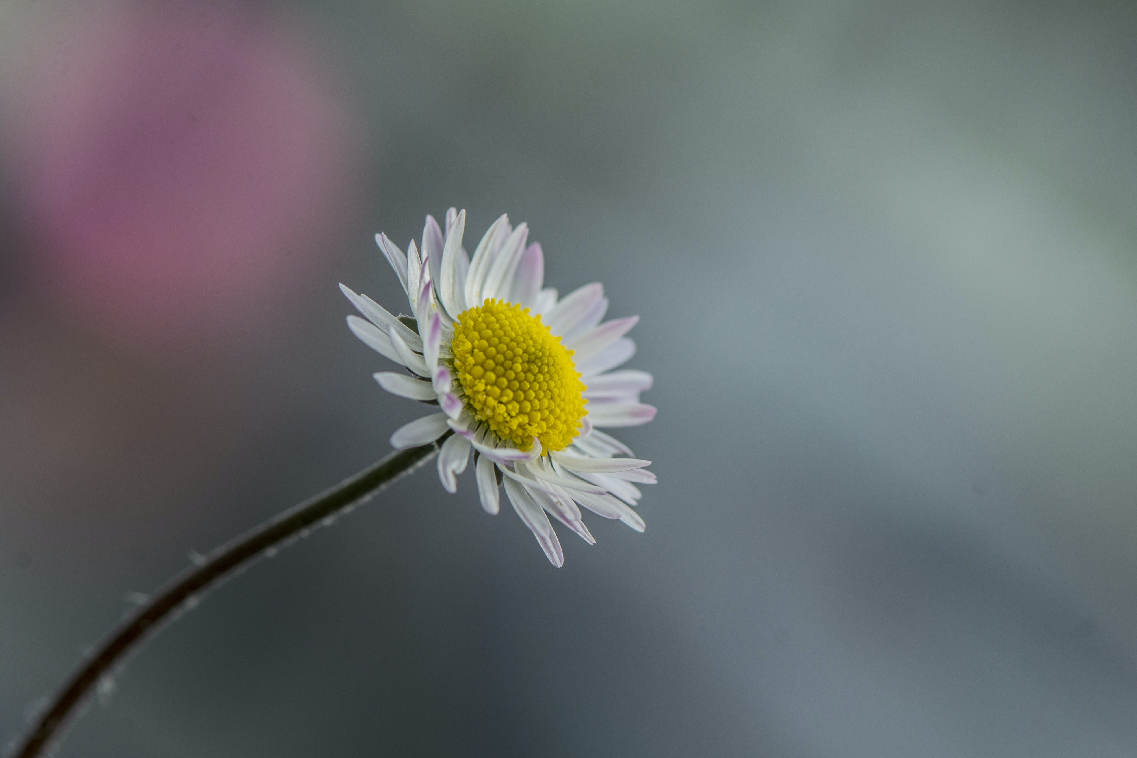 white daisy flower selective focus photography