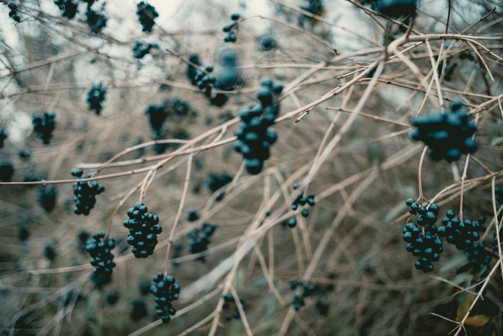 black berries on twing