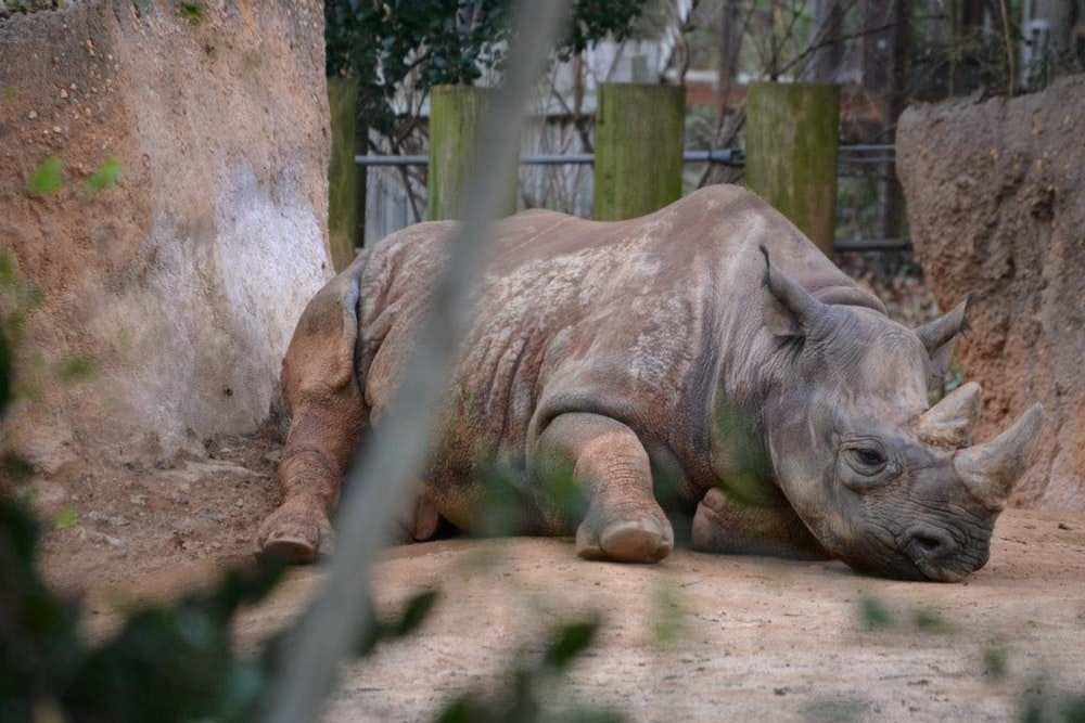 selective focus photography of rhino resting during daytime