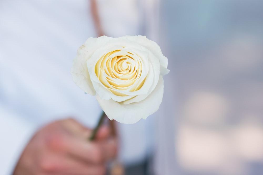 person holding white rose macro photogaphy