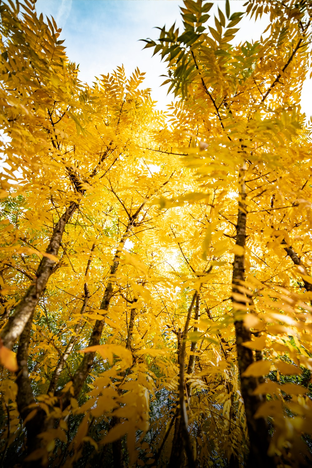 low angle photography of yellow-leafed trees