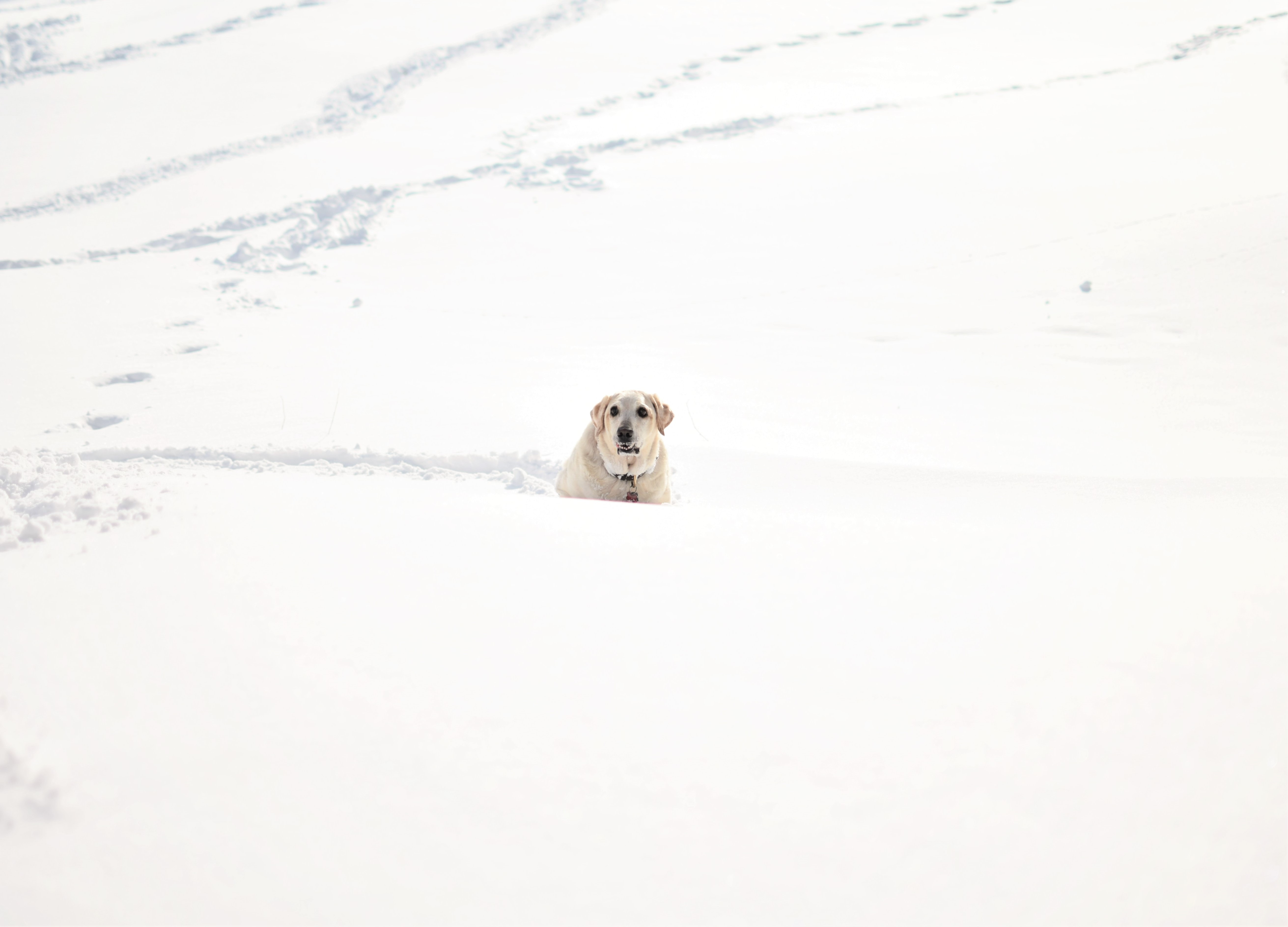 adult yellow Labrador retriever on snow during daytime