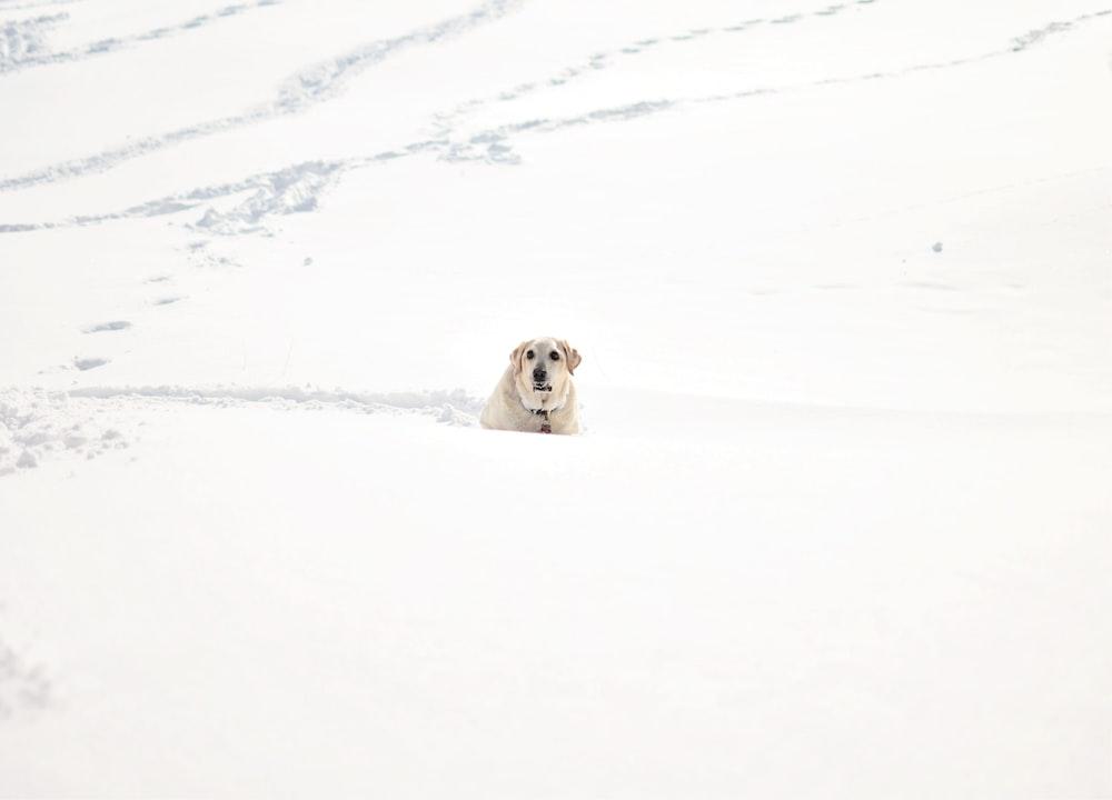 adult yellow Labrador retriever on snow during daytime