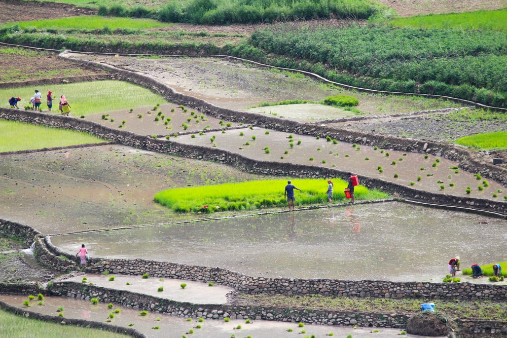 people on rice field