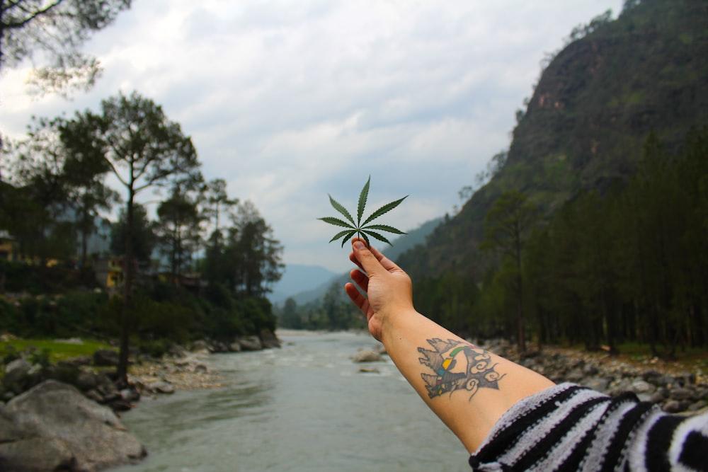 person holding marijuana leaf during daytime