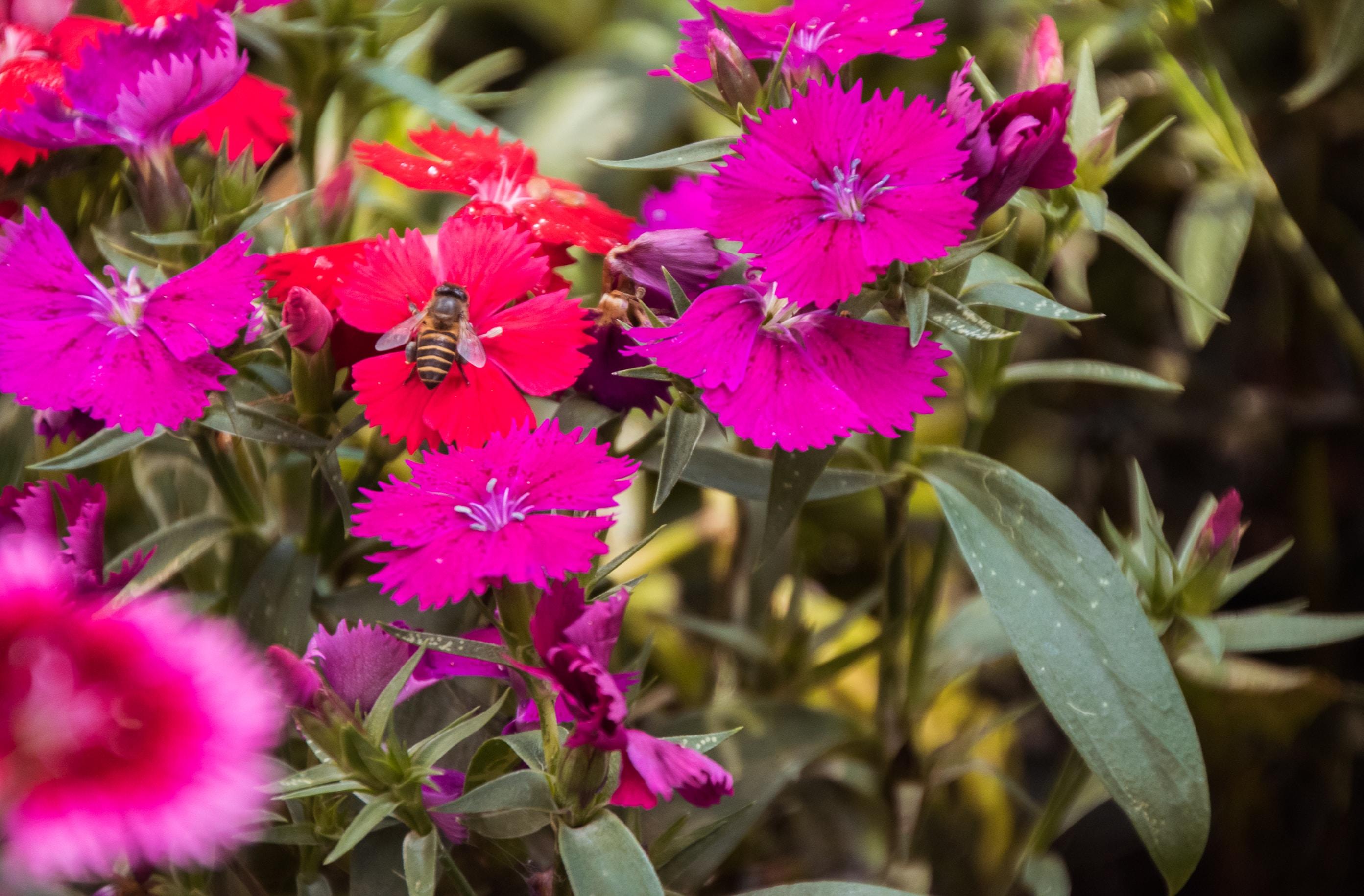 brown and black honeybee on red flower near pink flowers