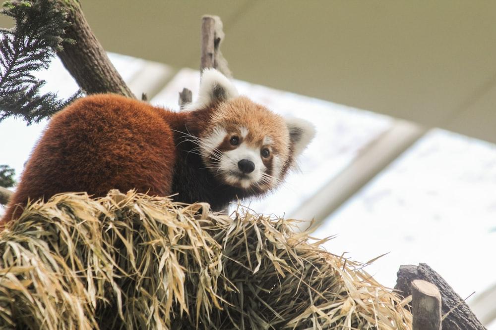 red panda on haystack
