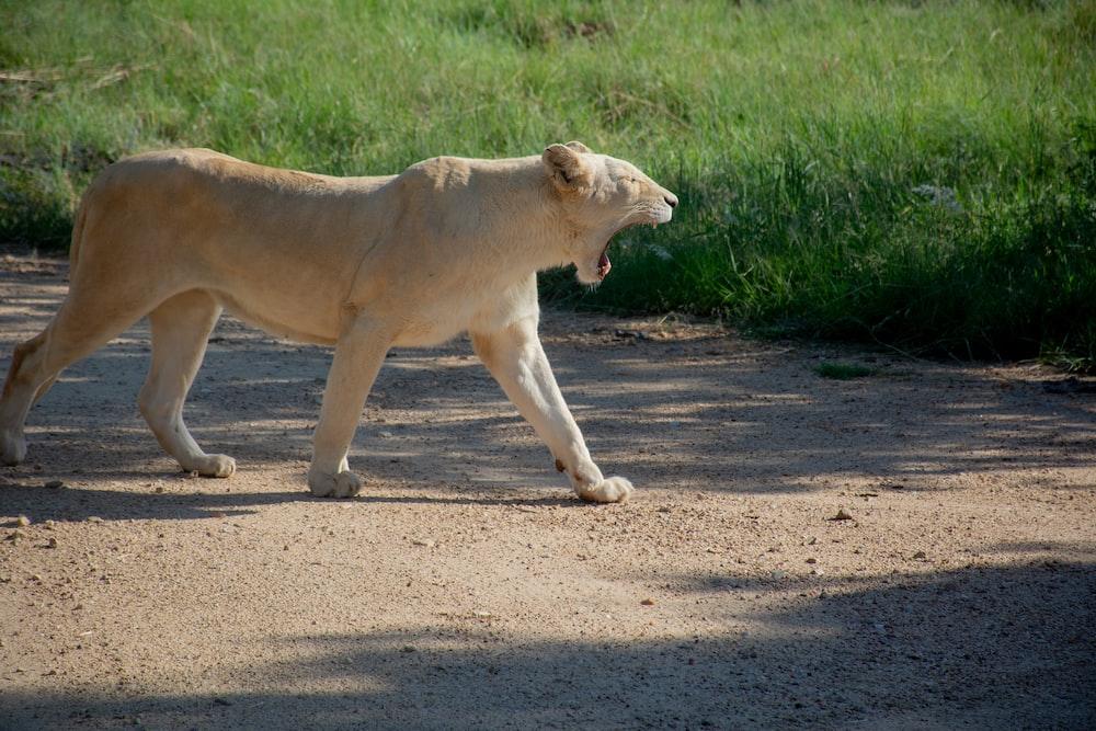 beige tiger walking on ground during daytime