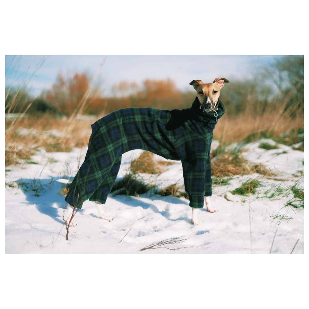 short-coated brown dog wearing green jacket on snow-covered ground during daytime