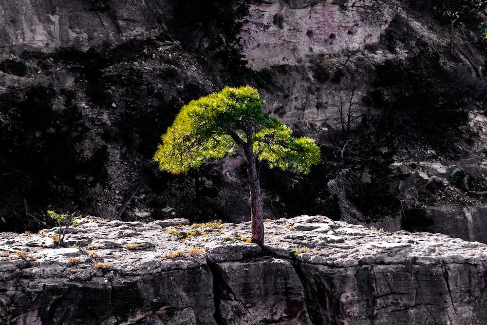 green tree on rocky mountain
