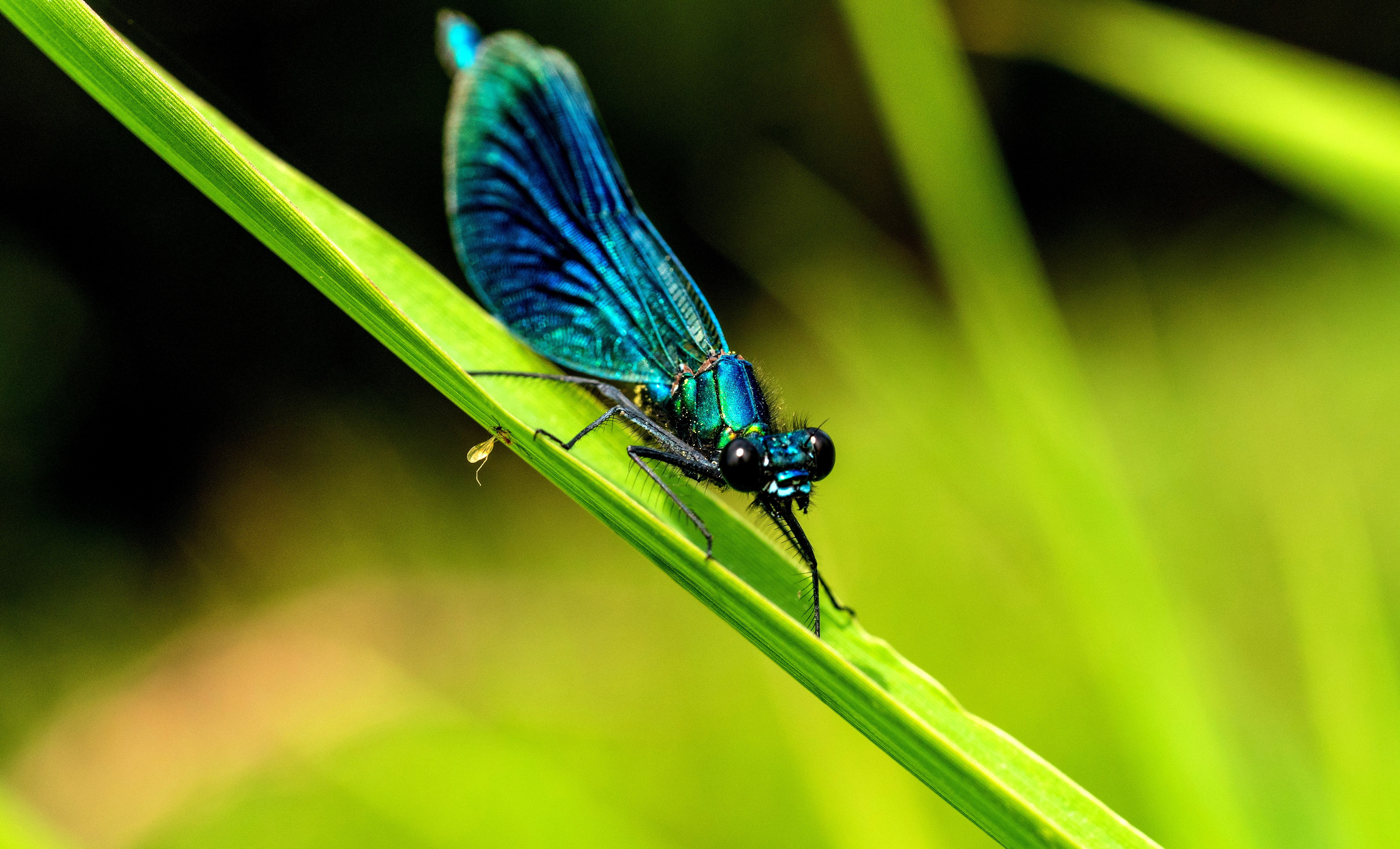 blue and green dragonfly on gren leaf