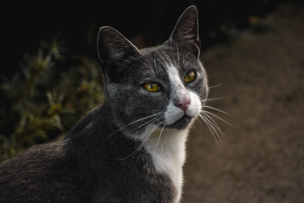 selective focus photography of gray and white cat