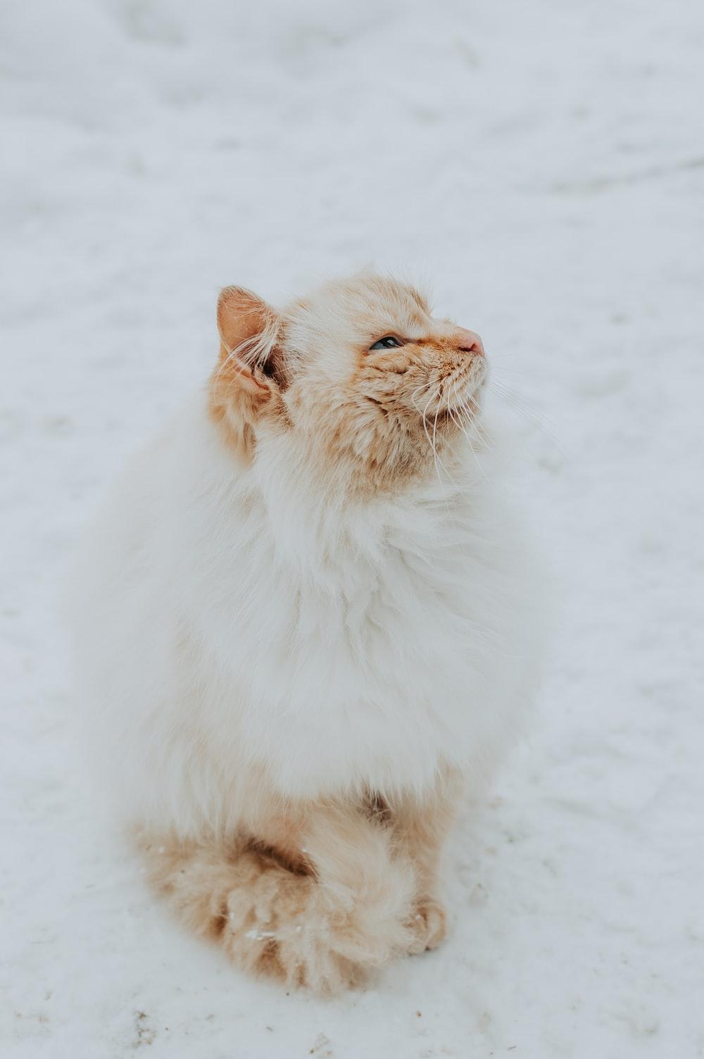 orange Persian cat sitting on snow field