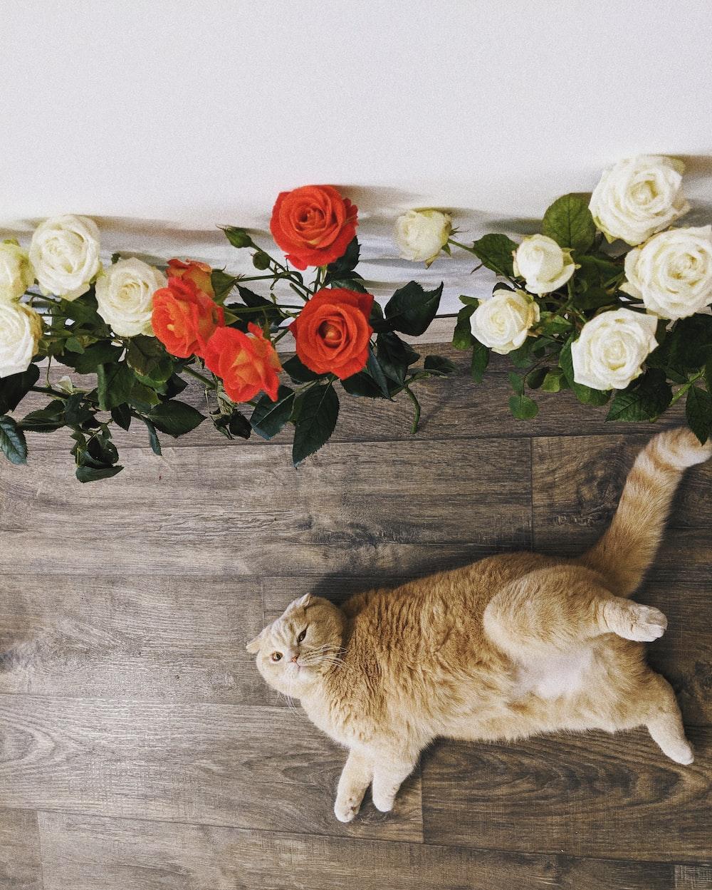 orange tabby cat lying on floor near red and white roses flowers