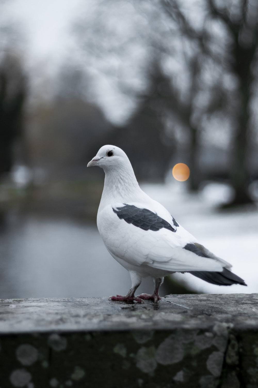 tilt shift focus photography of white pigeon