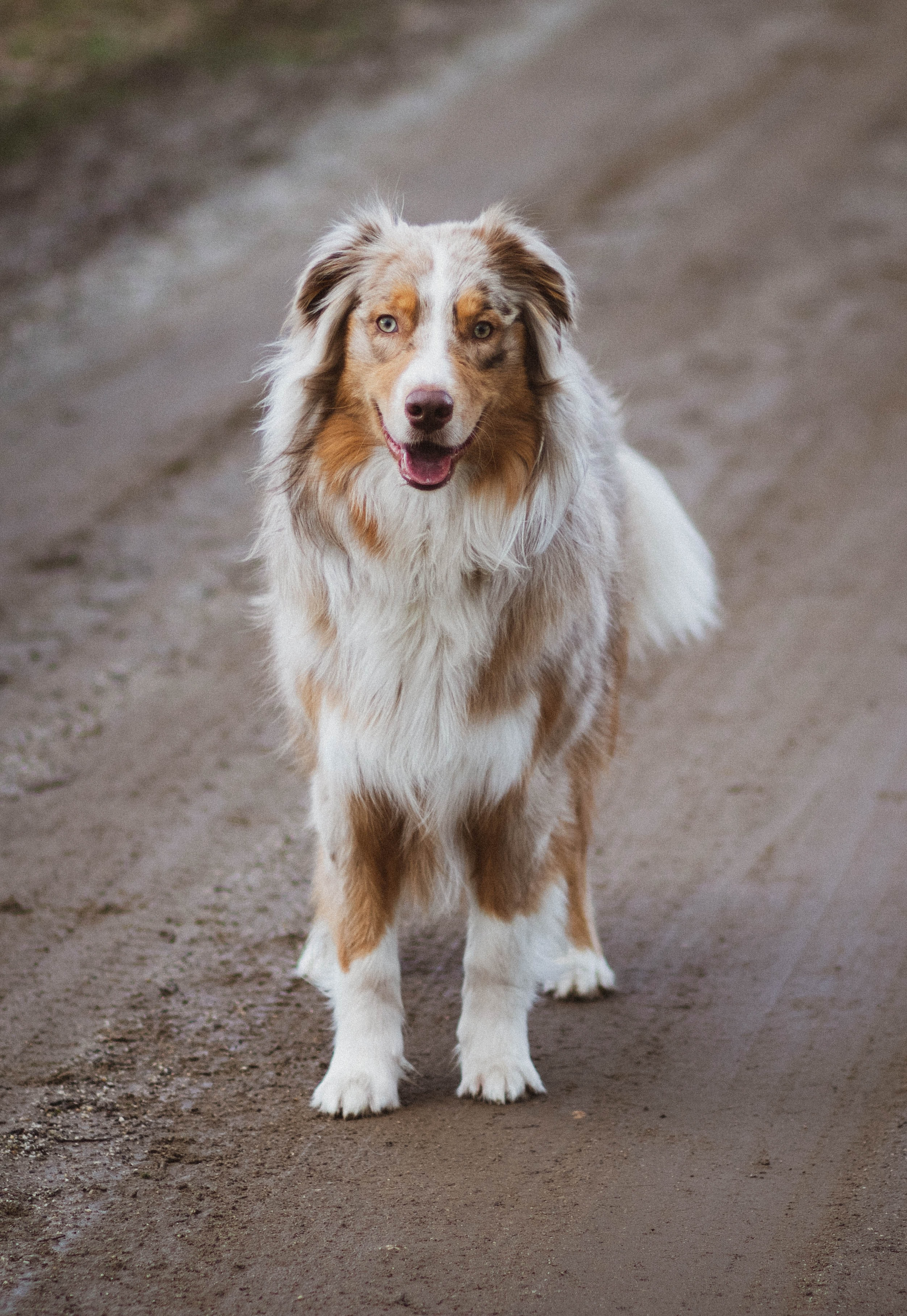 adult brown and white Australian shepherd on focus photography