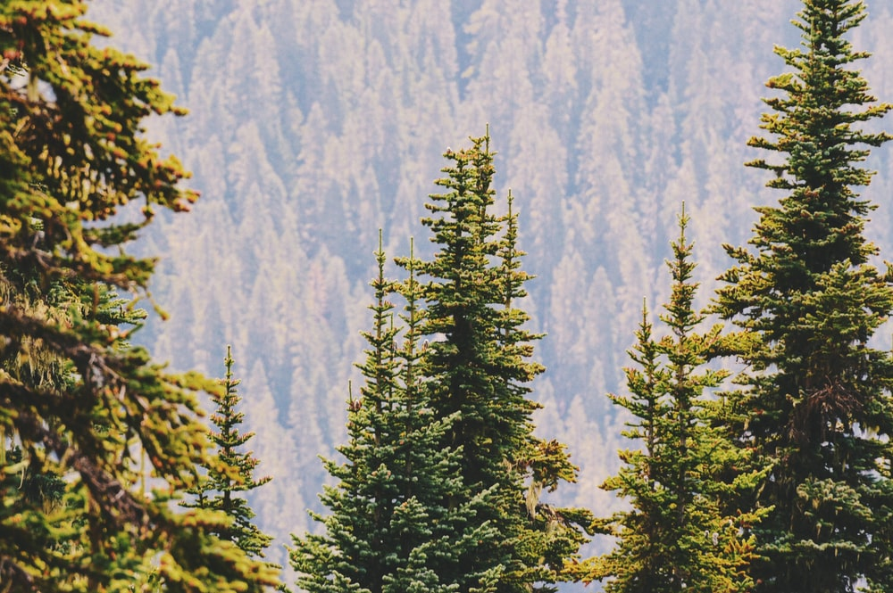 close-up photography of green pine trees