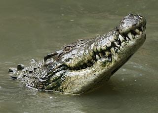 gray crocodile in body of water