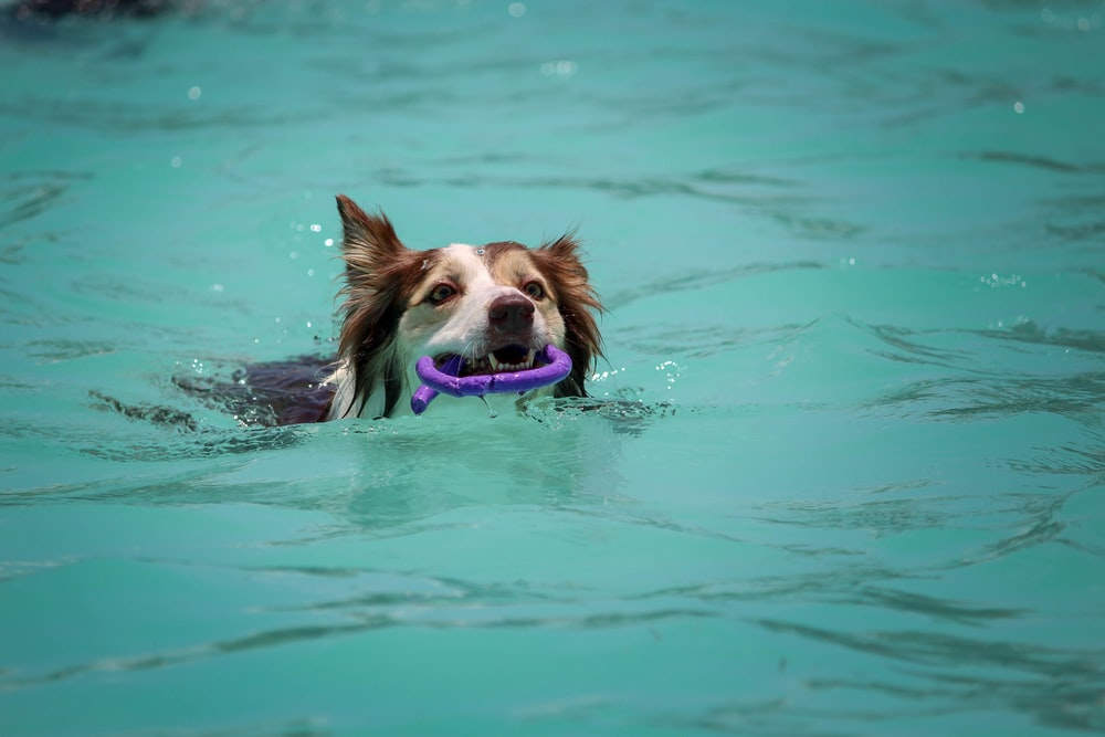 dog biting purple ornament while swimming during daytime