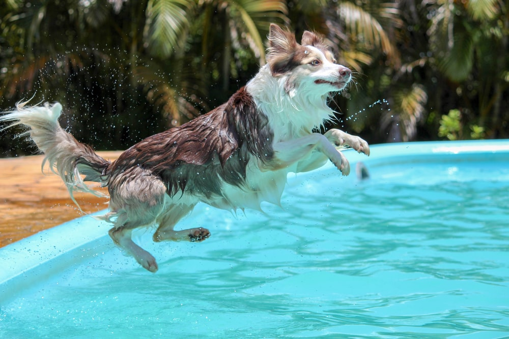 adult white and black border collie jumps to pool