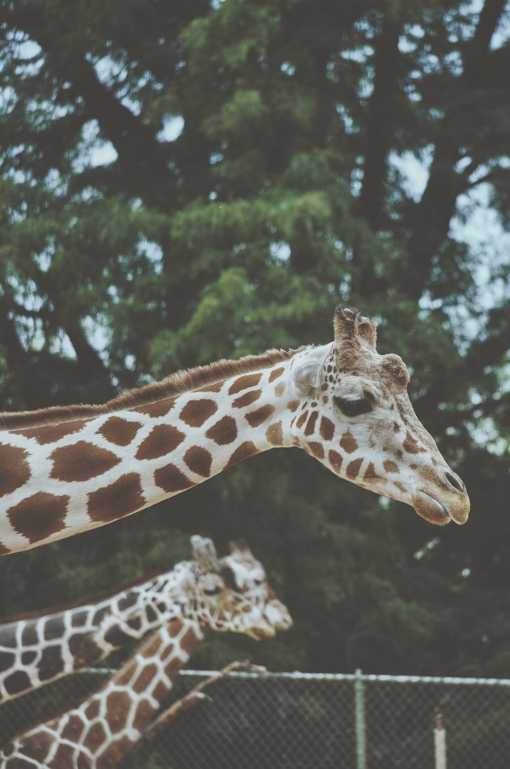 three giraffes near tree